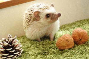 ペットのハリネズミは何を食べるの?